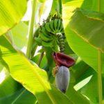 En bananplante er eksotisk i et dansk hjem eller have