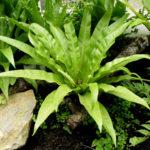 Fugleredebregne er en dekorativ stueplante, der er nem at passe