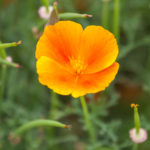 En guldvalmue med en varm orange farve