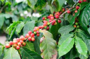 Friske kaffebønner på en gren