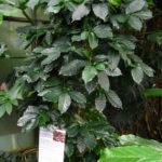 En kaffeplante er hårdfør og har en lang levetid