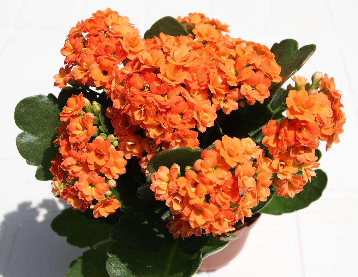En koraltop er nem at passe og blomstrer på alle tidspunkter af året