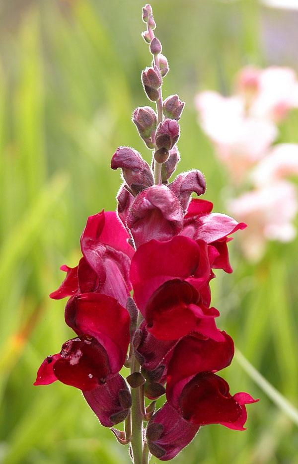 Løvemund er farverig plante, der kan blomstre to gange årligt