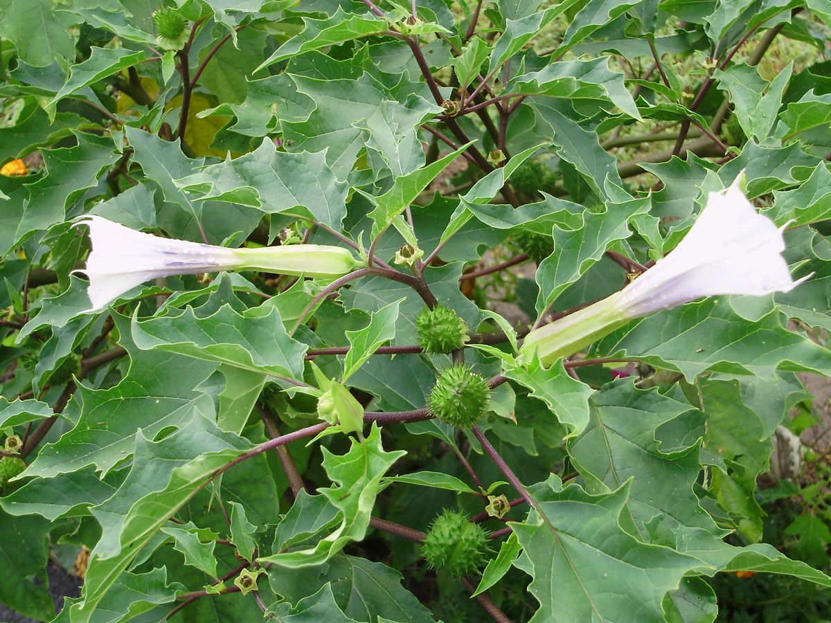 Pigæble kaldes Datura stramonium på latin