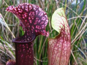 Sarracenia er fluetrompetens latinske betegnelse